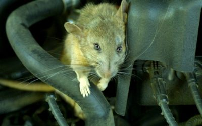 Làm sao để ngăn chuột vào khoang máy ô tô?